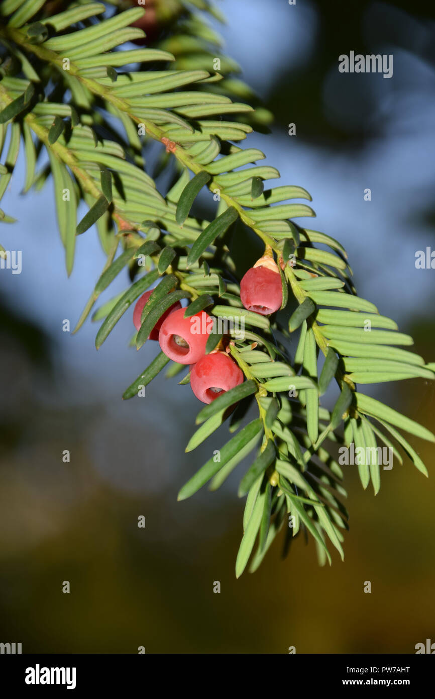 mature cones of yews tree, taxus baccata tree with spirally arranged mature red cones - Stock Image
