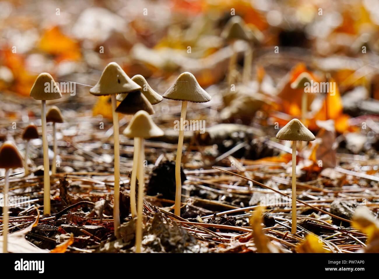 Liberty Cap Mushrooms Stock Photos & Liberty Cap Mushrooms