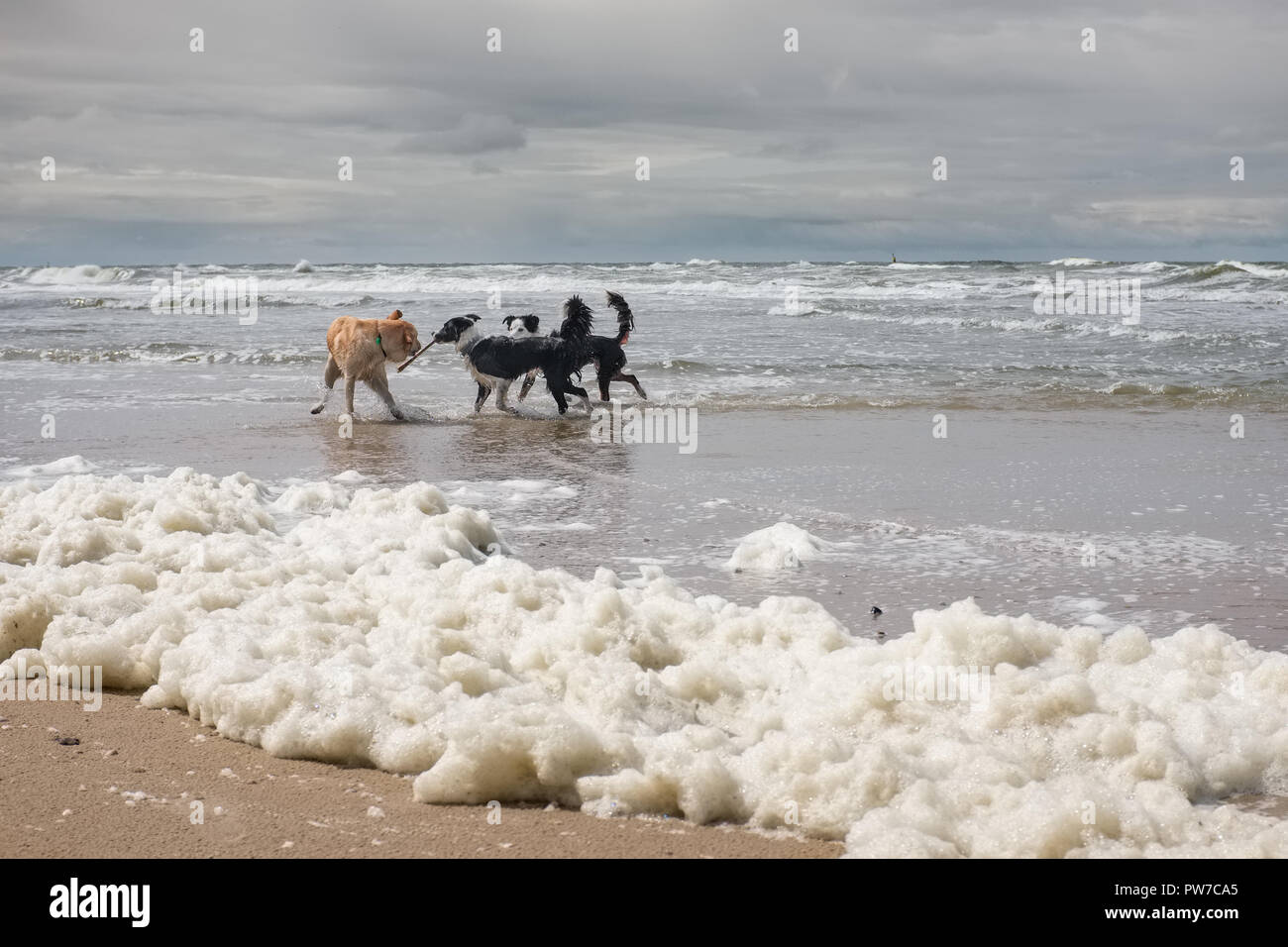 Three dogs playing on a beach covered by Algae Stock Photo