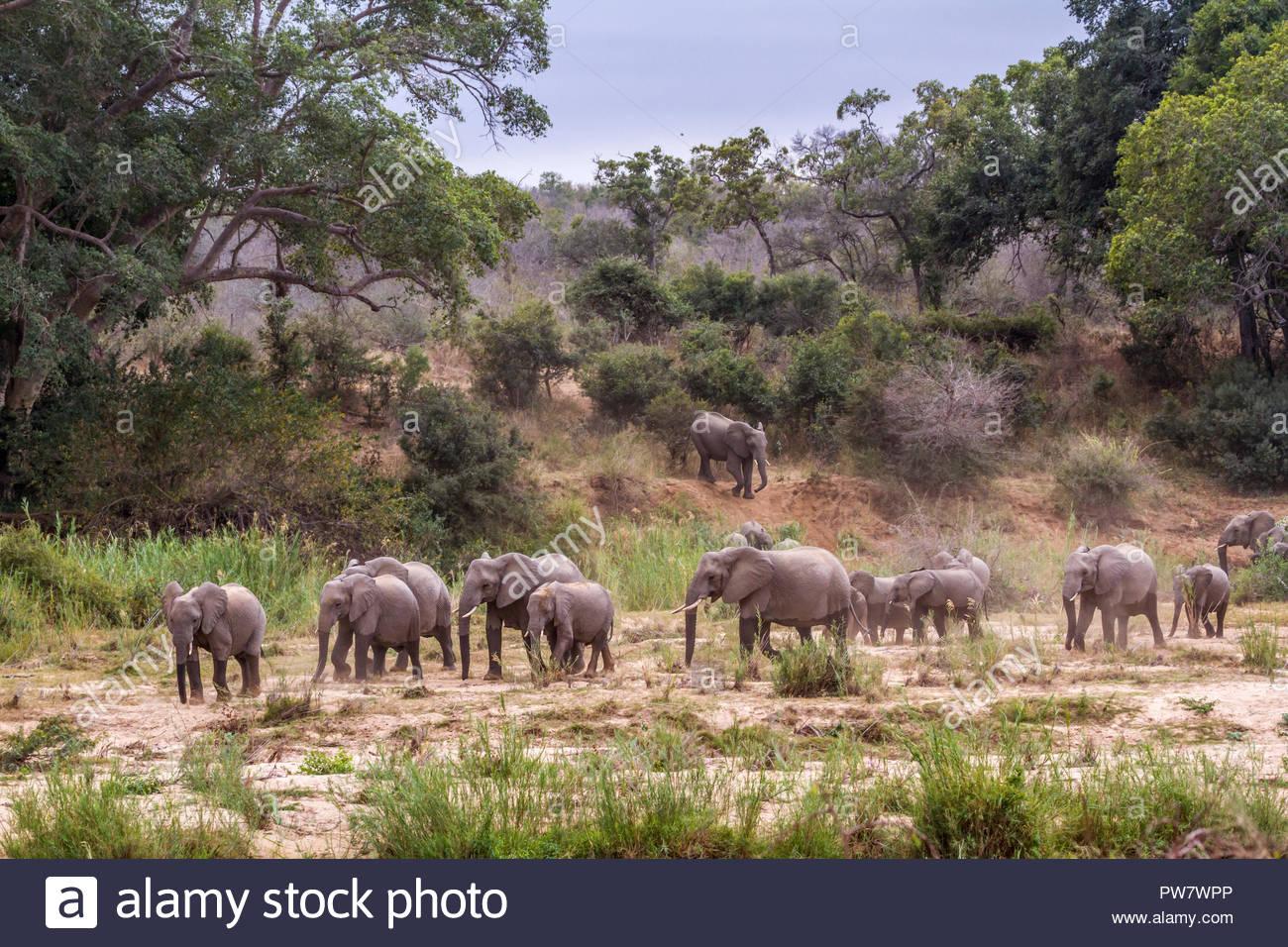 African bush elephant in Kruger National park, South Africa ; Specie Loxodonta africana family of Elephantidae - Stock Image