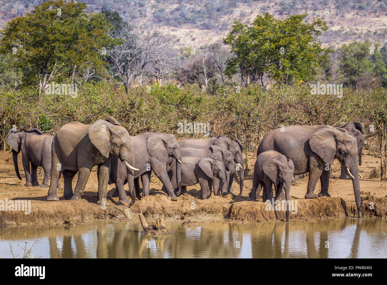African bush elephant in Kruger National park, South Africa ; Specie Loxodonta africana family of Elephantidae - Stock Image