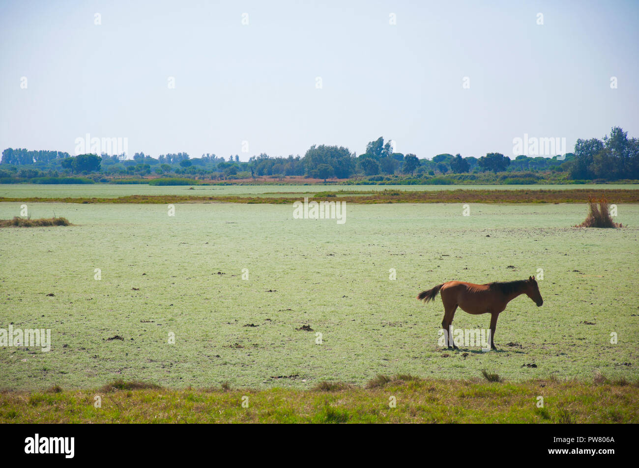 Bay horse alone in the field, summer - Stock Image