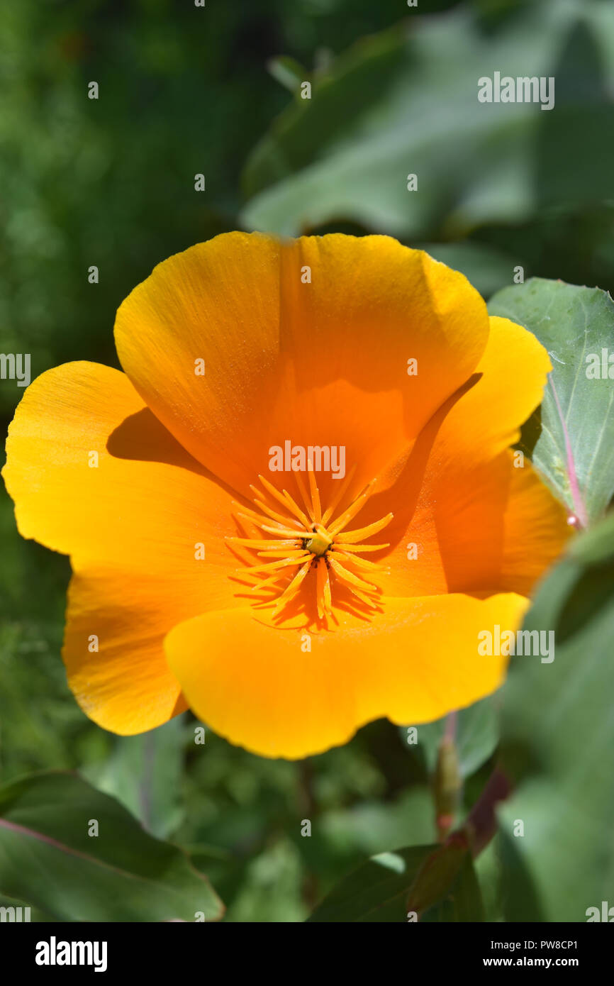 Pretty Blooming California Poppy Flower Blossom In A Garden Stock