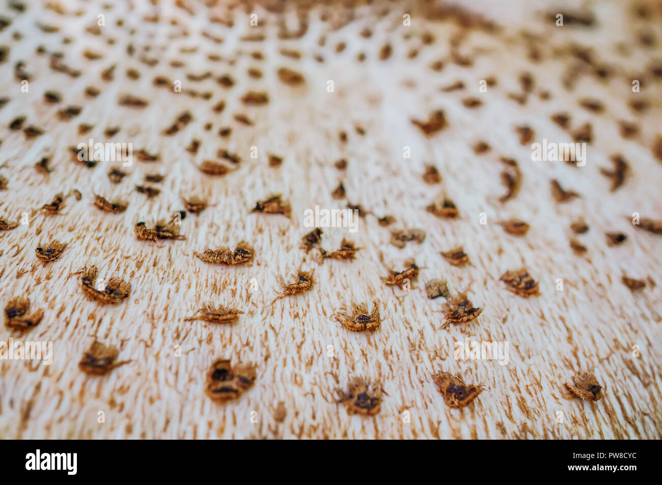Abstract nature background macro Sajor-caju mushroom plants. The use of design ideas texture pattern or concept natural Wallpaper. - Stock Image