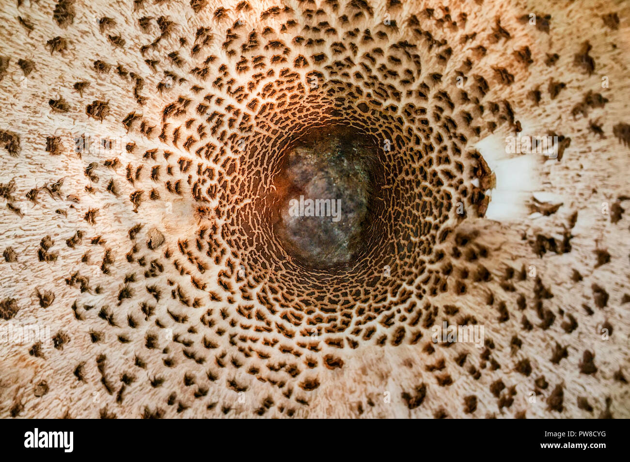 Abstract Nature Background Macro Sajor Caju Mushroom Plants The Use Of Design Ideas Texture Pattern Or Concept Natural Wallpaper Stock Photo Alamy