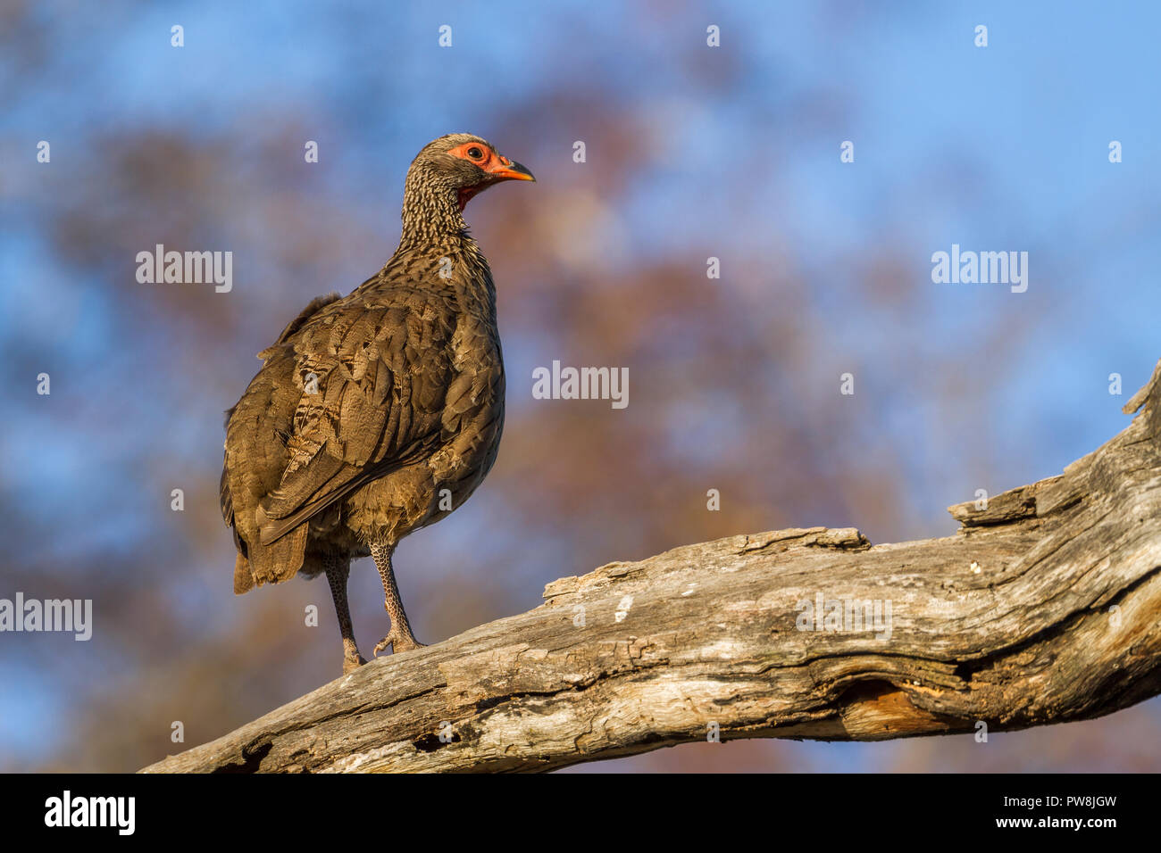Swainson's Spurfowl in Kruger National park, South Africa ; Specie Pternistis swainsonii family of Phasianidae - Stock Image