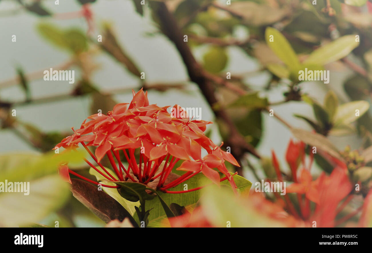 Beautiful flowering Japanese cherry - Sakura. Background with flowers on a bright sunny spring day. - Stock Image