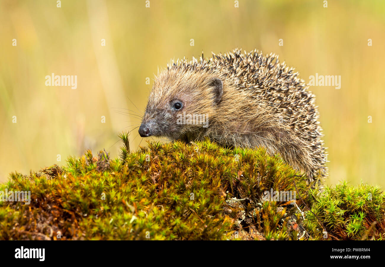 Hedgehog, wild, native, European hedgehog in natural woodland setting with green moss and blurred background.  Scientific name: Erinaceus europaeus. - Stock Image