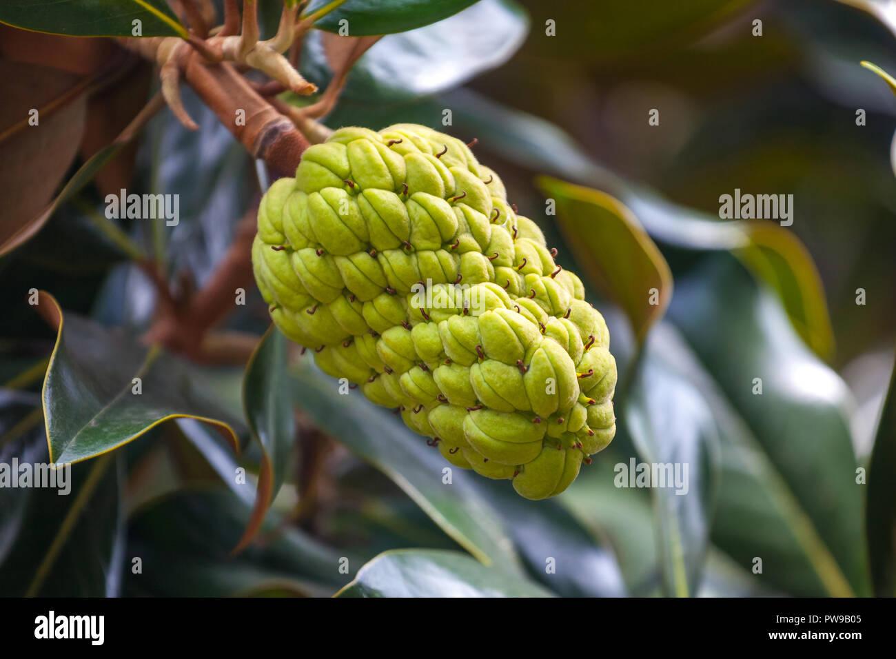 The Magnolia Tree Exhibits Seed Pods Flora Stock Photo 222097013