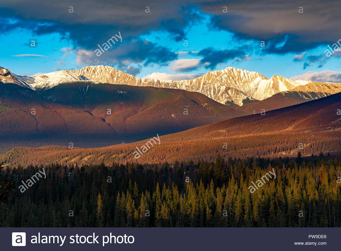 Mountain pine beetle killed trees, Jasper National Park, Alberta, Canada - Stock Image