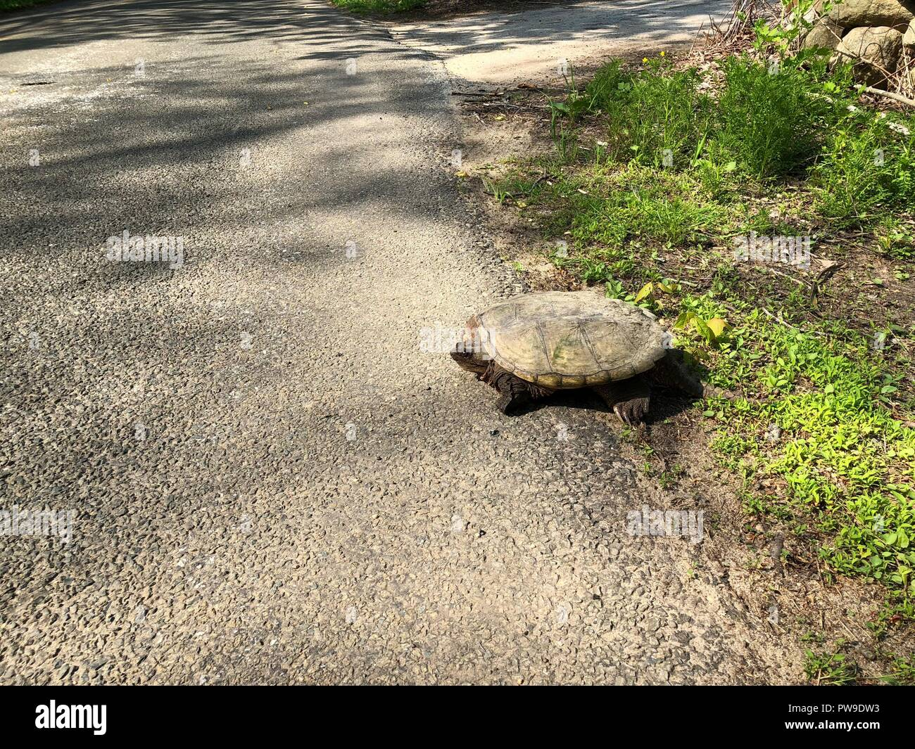 Snapping turtle sitting at the side of a rural road in sunshine Stock Photo