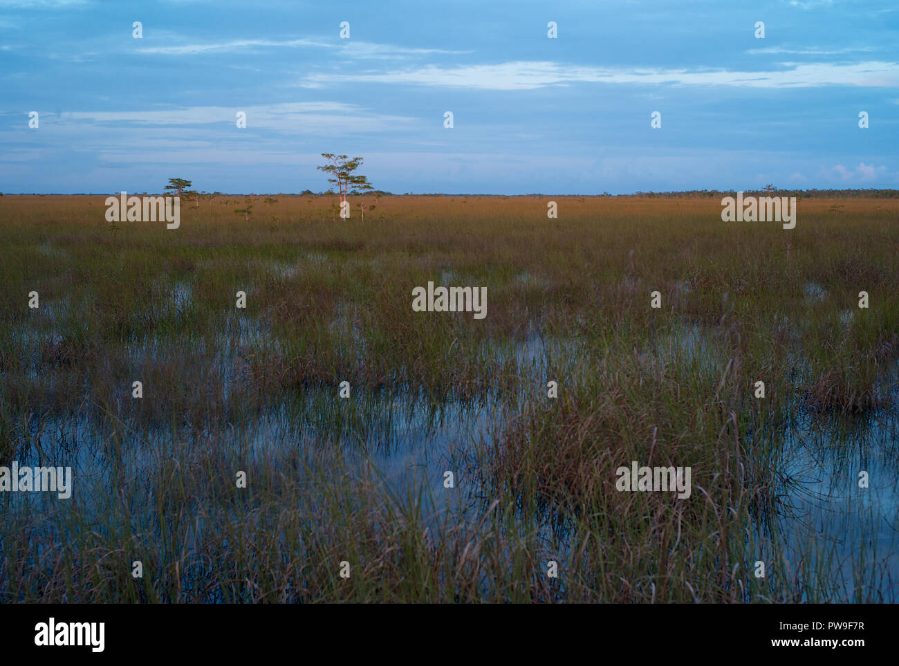 The Marshland of the Everglades in the Evening with Cypress Trees and Sawgrass - Stock Image