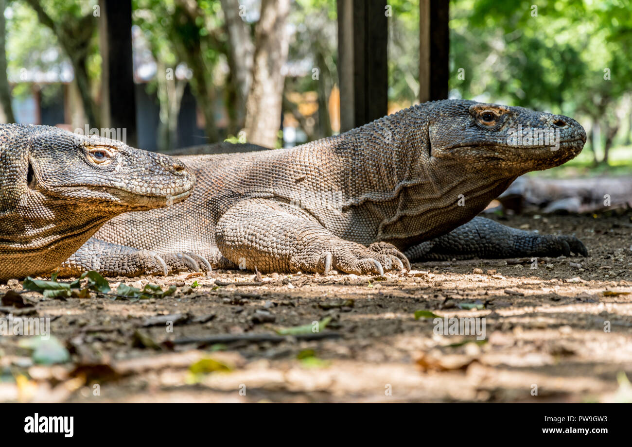 Komodo Dragon, Biggest Lizard - Komodo National Park, Indonesia, Asia - Stock Image