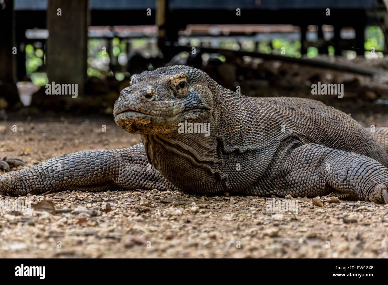 Komodo Dragon, Biggest Lizard - Komodo National Park, Indonesia, Asia - Stock Image