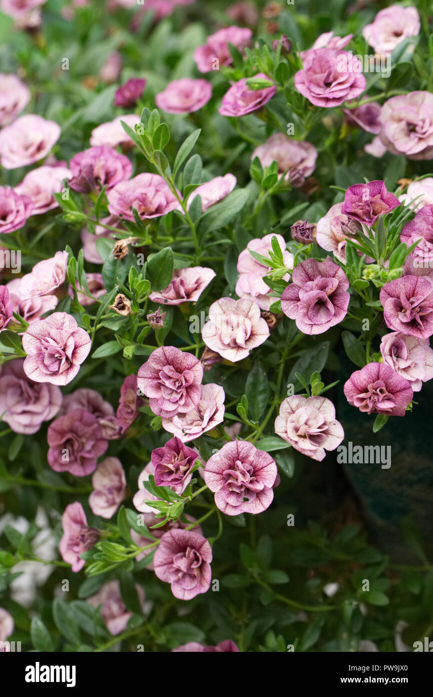 Calibrachoa Can Can Double' Dark Lavender' flowers. - Stock Image