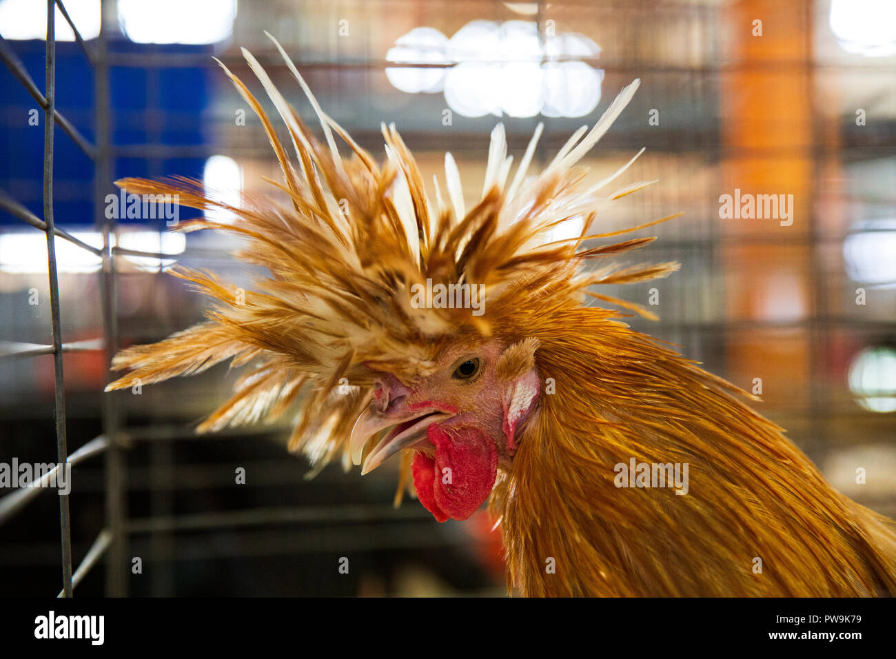 The Poultry Barn at the Great New York State Fair, August 27, 2015. - Stock Image