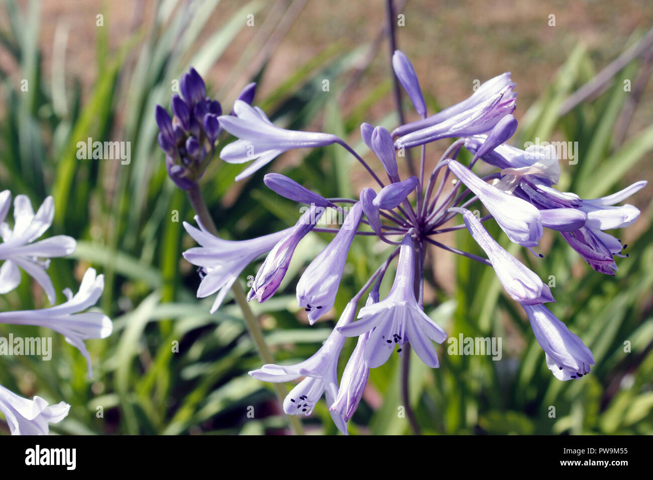 Agapanthus africanus blue flower heads Stock Photo