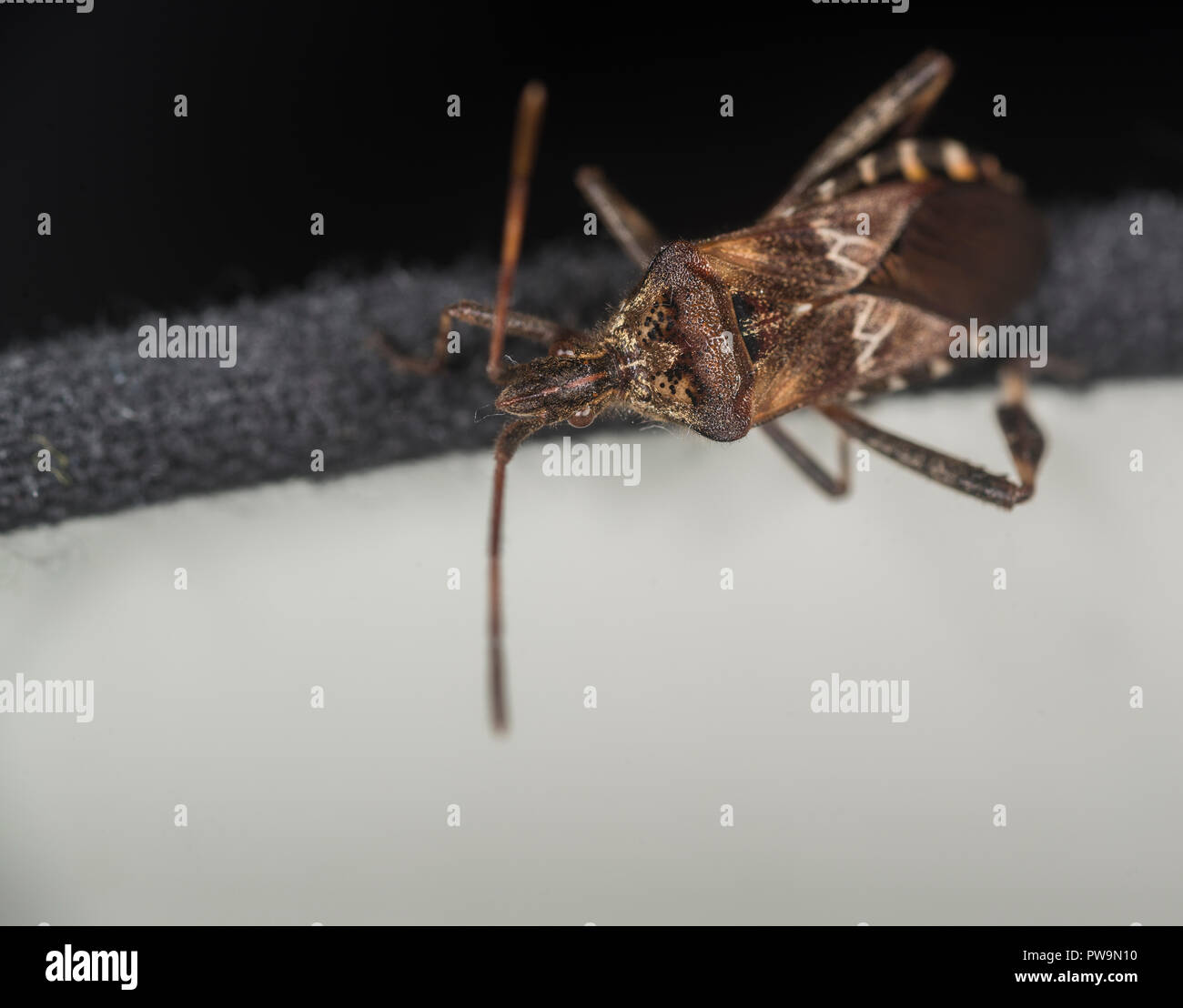 Western conifer seed bug on a lamp - Stock Image