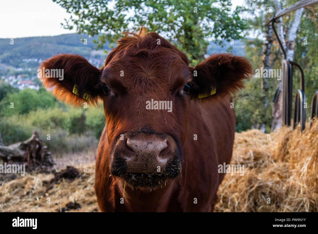 Brown cow Portrait in the Morning hour - Stock Image