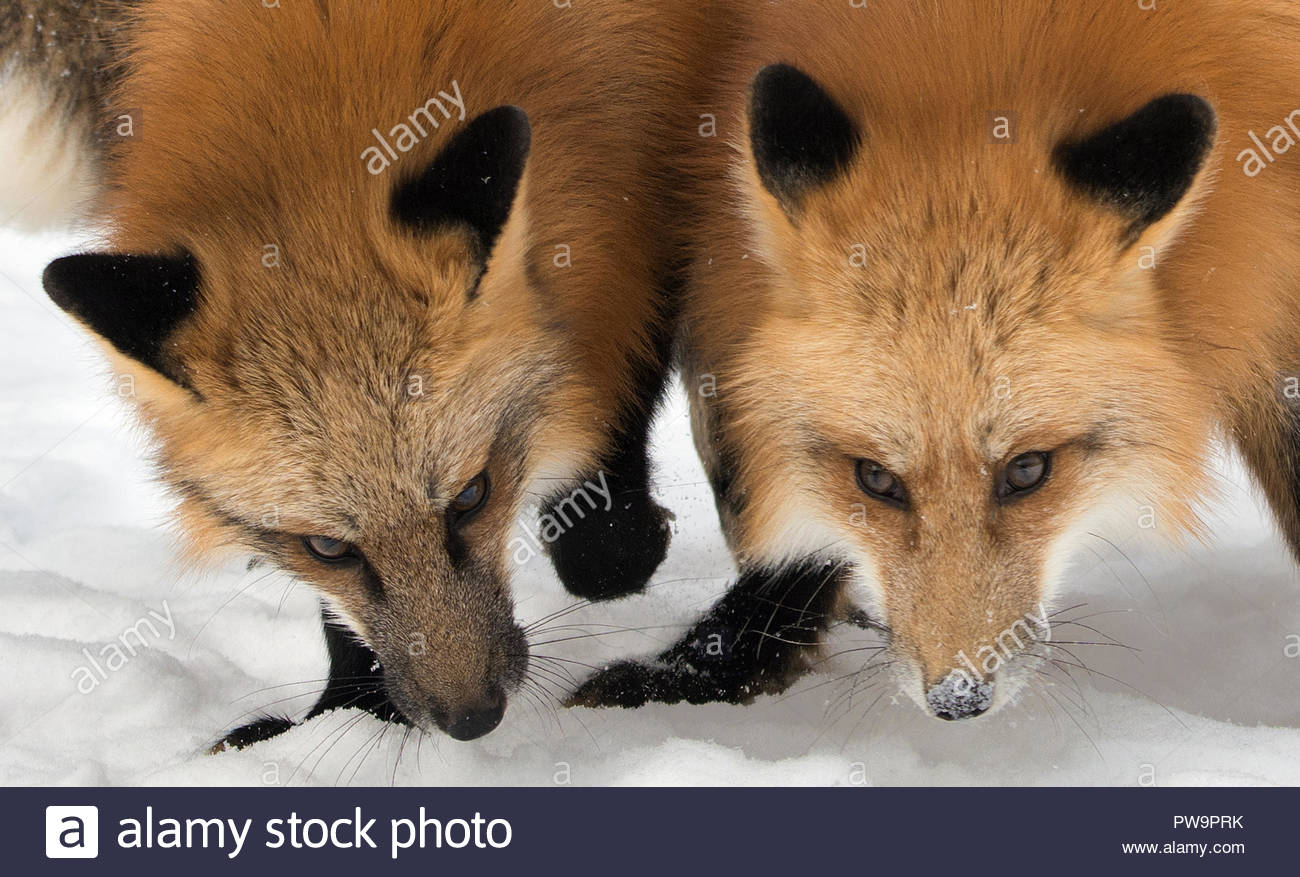 Two red foxes on snow in winter - Stock Image