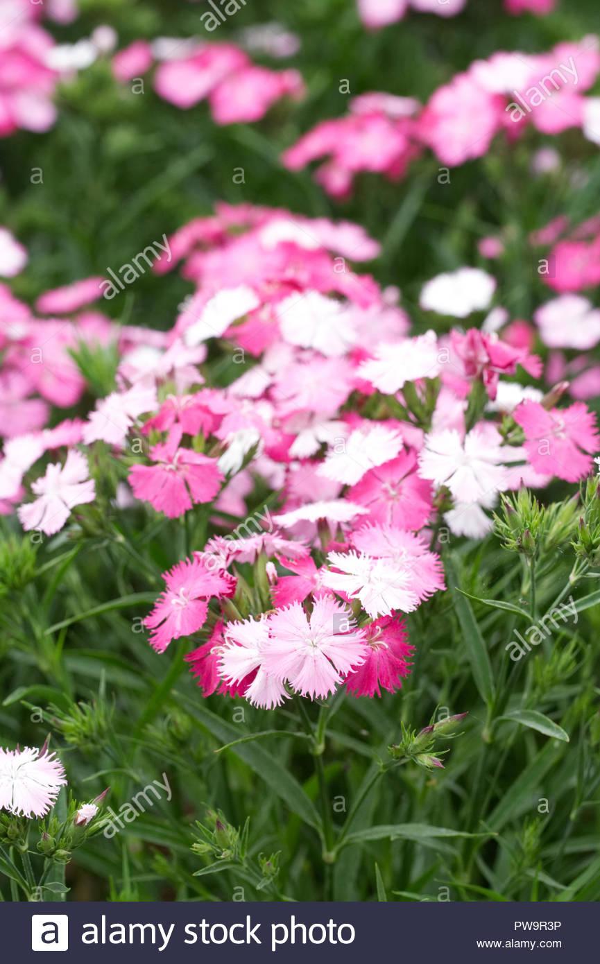 Dianthus barbutus F1 'Rockin' Pink Magic' flowers - Stock Image
