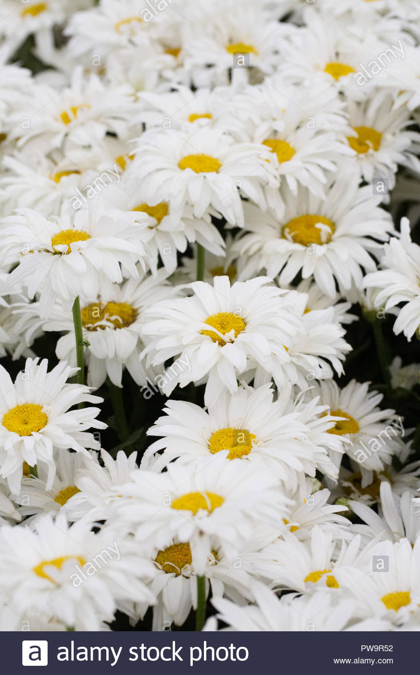 Leucanthemum x superbum 'White Magic' flowers. - Stock Image
