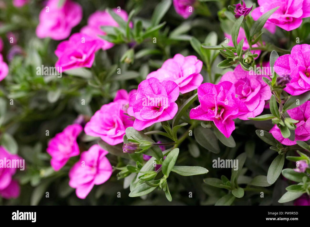 Calibrachoa Can Can Double 'Pinkmania' flowers. - Stock Image