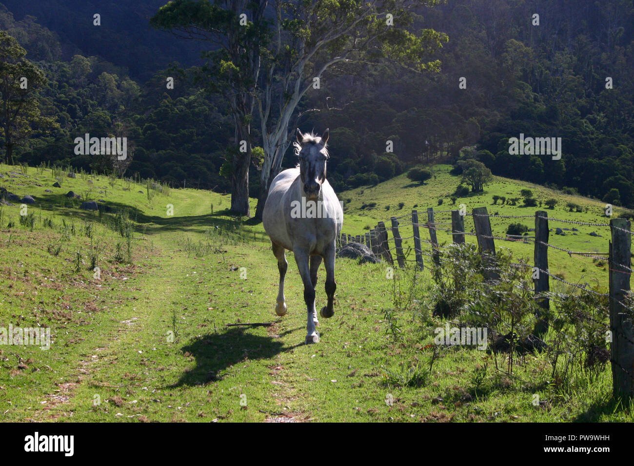 WHITE HORSE RUNNING THROUGH A RURAL PROPERTY IN QUEENSLAND, AUSTRALIA - Stock Image