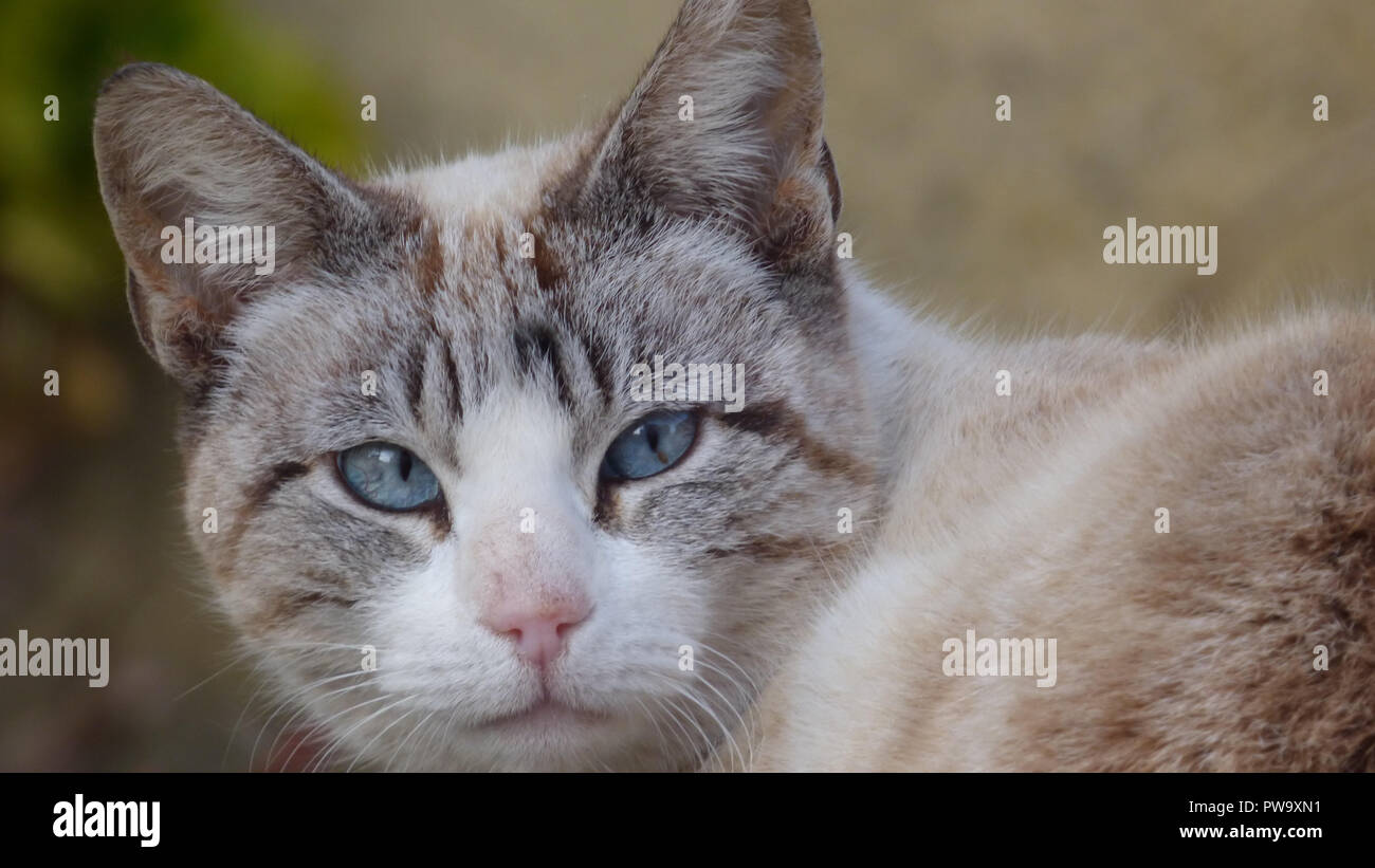 Blue Eyed Cat Face Closeup Looking into Camera Housepet - Stock Image