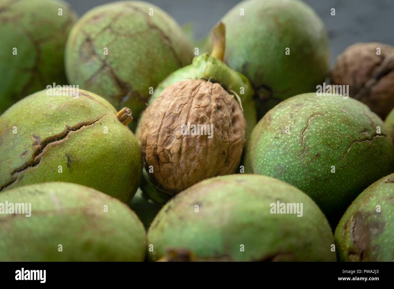 Fresh harvest of walnuts (Juglans regia) in a green shell. Shell and peel of walnuts, when are walnuts ready to pick concept Stock Photo