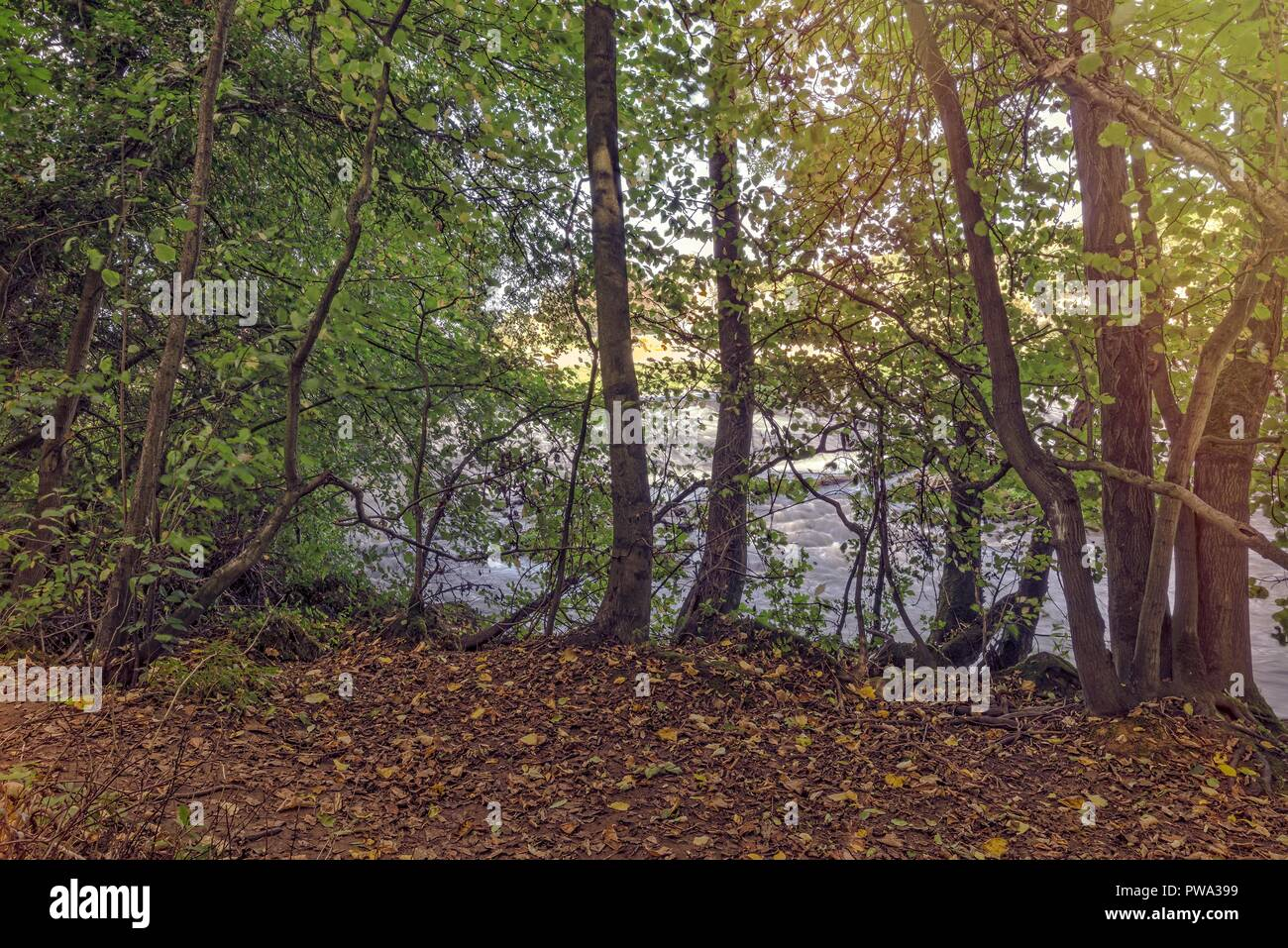 The edge of some woodland as it reaches a river.  The fallen leaves of early autumn are scattered around. Stock Photo