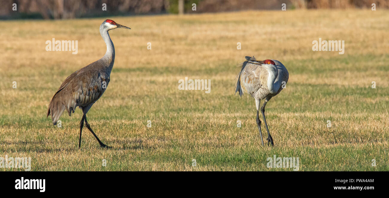 Pair of Sandhill cranes posturing in grass stubble - Stock Image