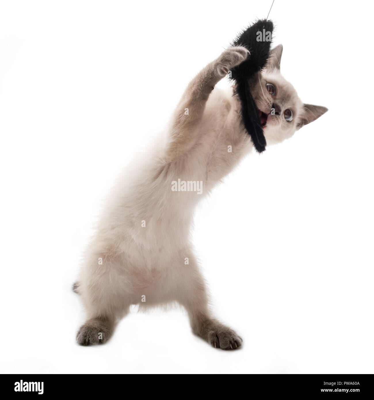 The kitten of a color of color-point catches a toy. The light kitten catches a black toy mouse on a string. White background, close up - Stock Image