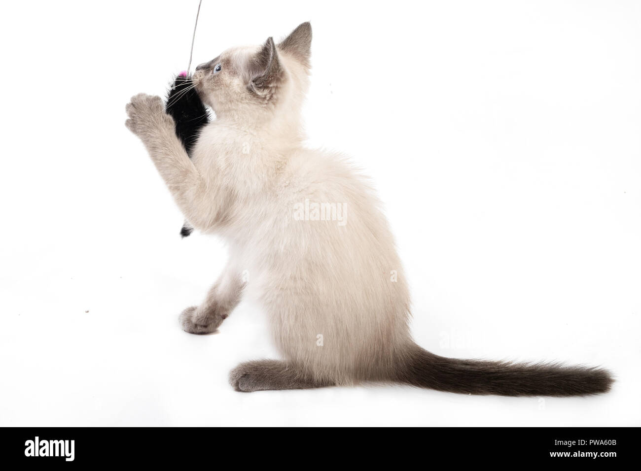 The kitten of a color of color-point catches a toy. The light kitten catches a black toy mouse on a string - Stock Image