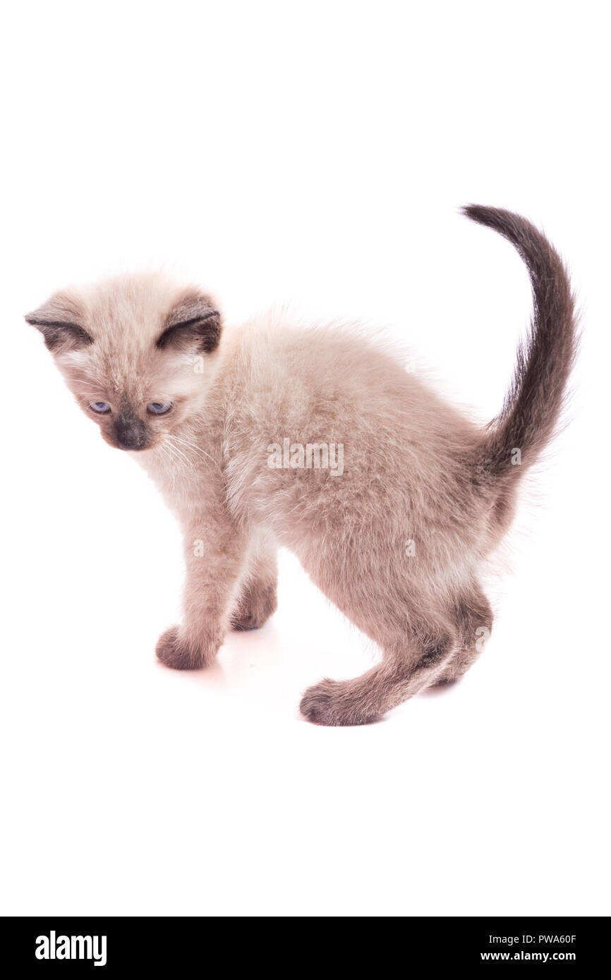Kitten of a color of color-point on a white background. The kitten costs and looks back - Stock Image