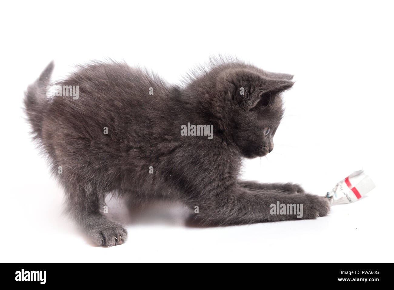 The gray kitten plays with a piece of paper. A close up, it is isolated on a white background - Stock Image