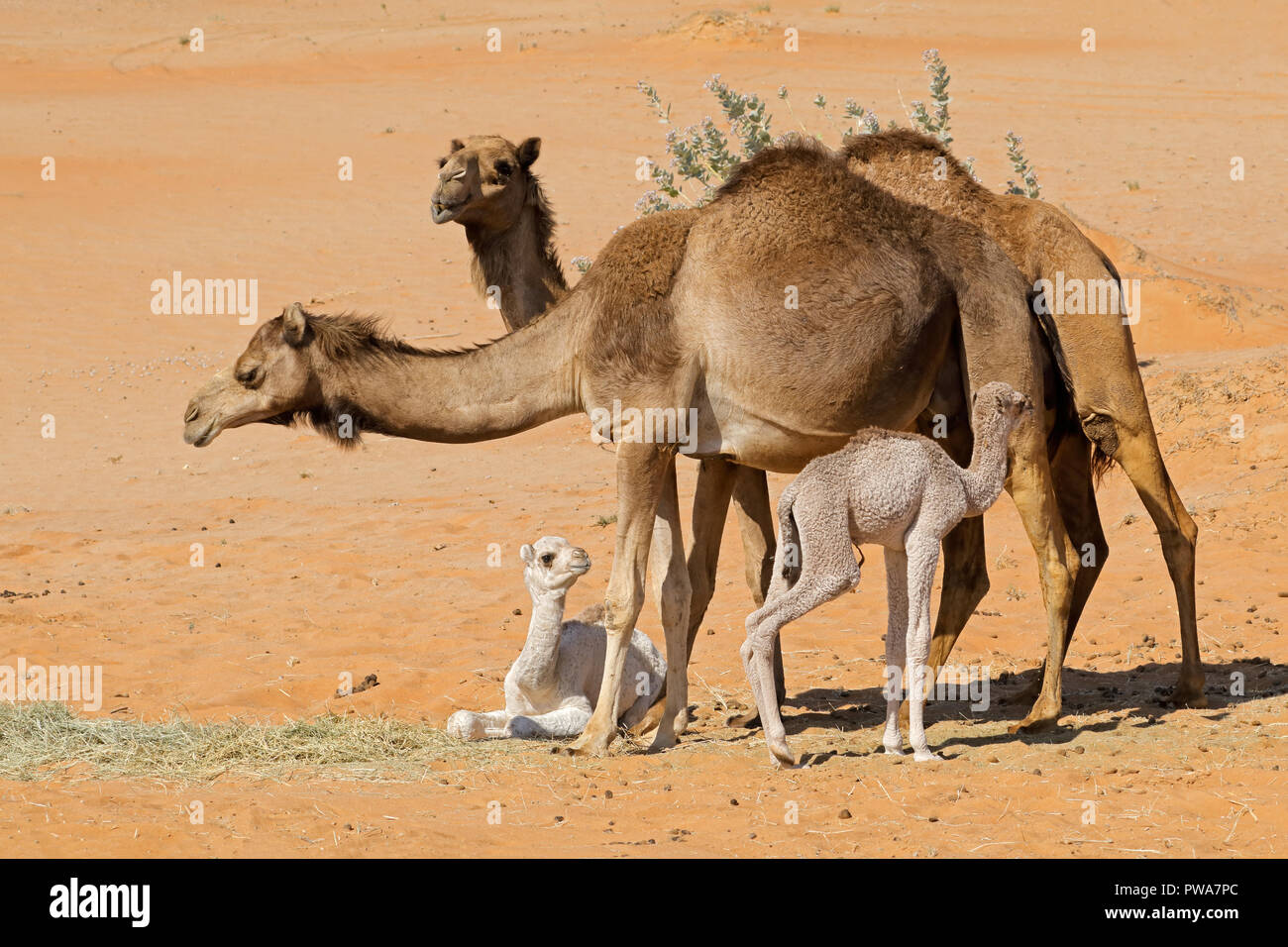 Camels with young calves on a desert sand dune, Arabian Peninsula - Stock Image