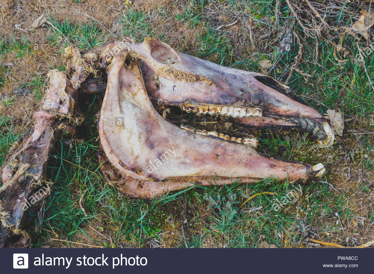 carrion, decayed flesh and bones of a dead animal. Horse cranium skinnedby scavengers - Stock Image