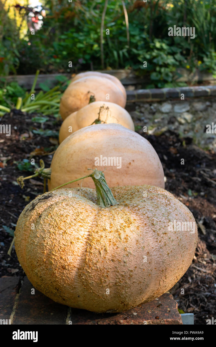 Fresh harvest of Autumn pumpkins from the vegetable garden, waiting for Halloween. Grown in a Southern England country farm house. Stock Photo