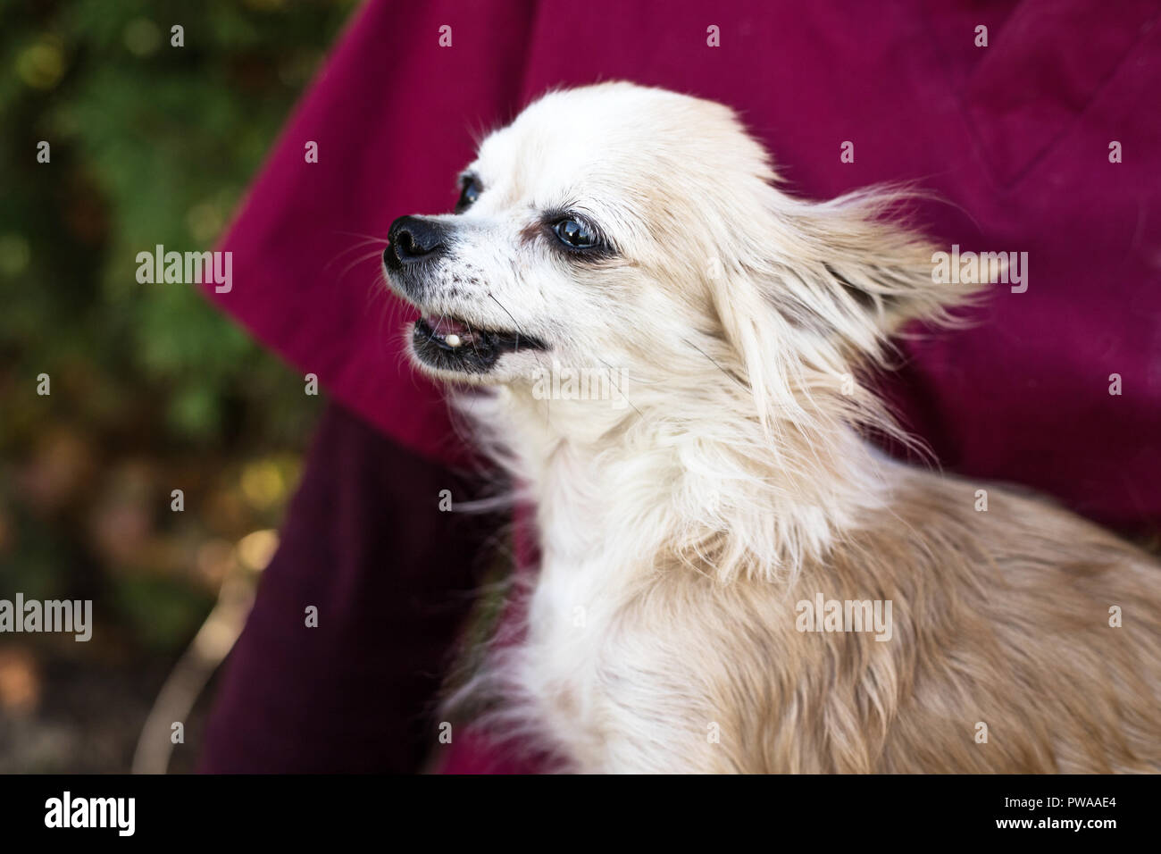 old chihuahua dog with vet - Stock Image
