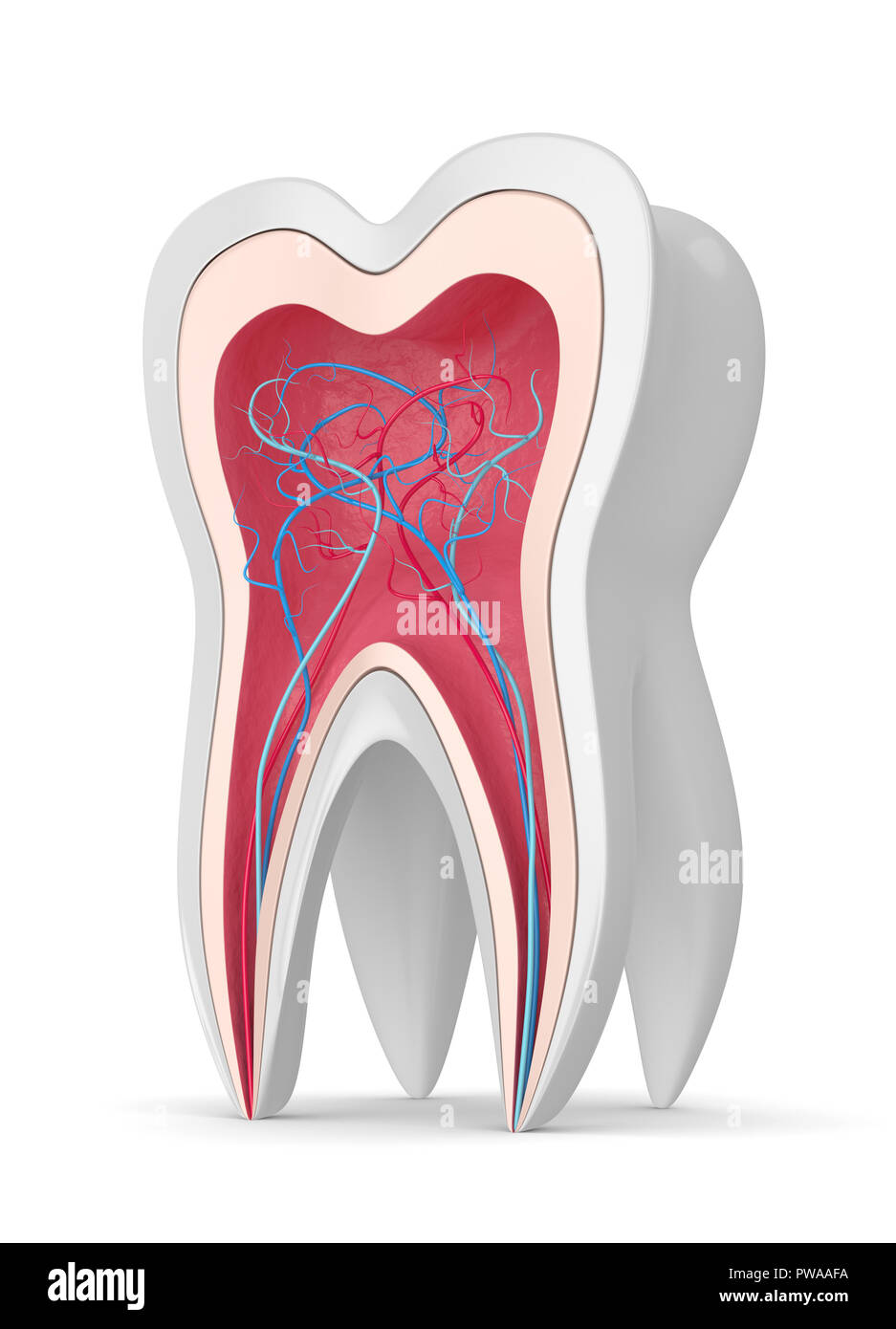 3d render of tooth in gums with nerves and blood vessels