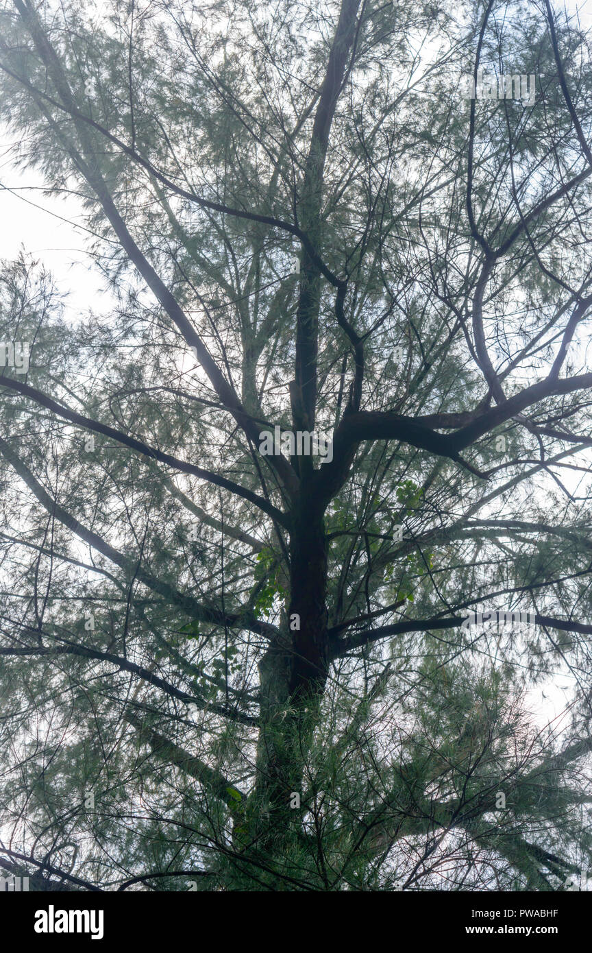 The canopy of tall trees framing a clear blue sky. Nature landscape. Beautiful natural summer background. Wallpaper banner textured element. & The canopy of tall trees framing a clear blue sky. Nature landscape ...