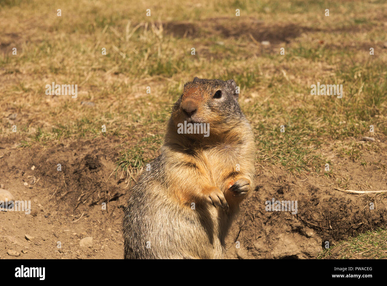 Ground Squirrels at E.C. Manning Provincial Park, BC, Canada - Stock Image