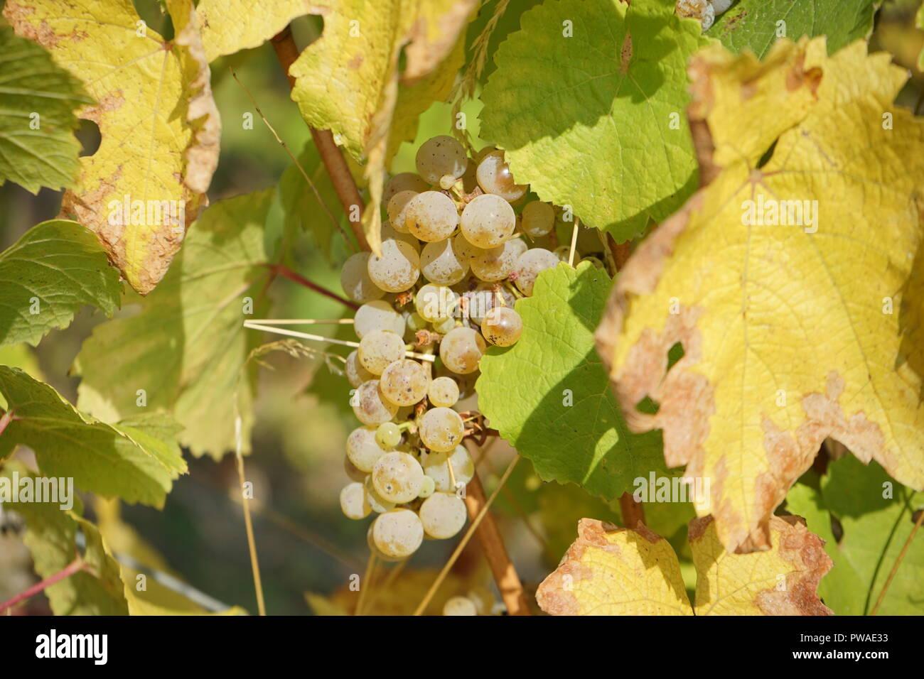 Rieslingtrauben, Edle Weinrebe (Vitis vinifera subsp. vinifera), Moseltal, Deutschland, Europa Stock Photo