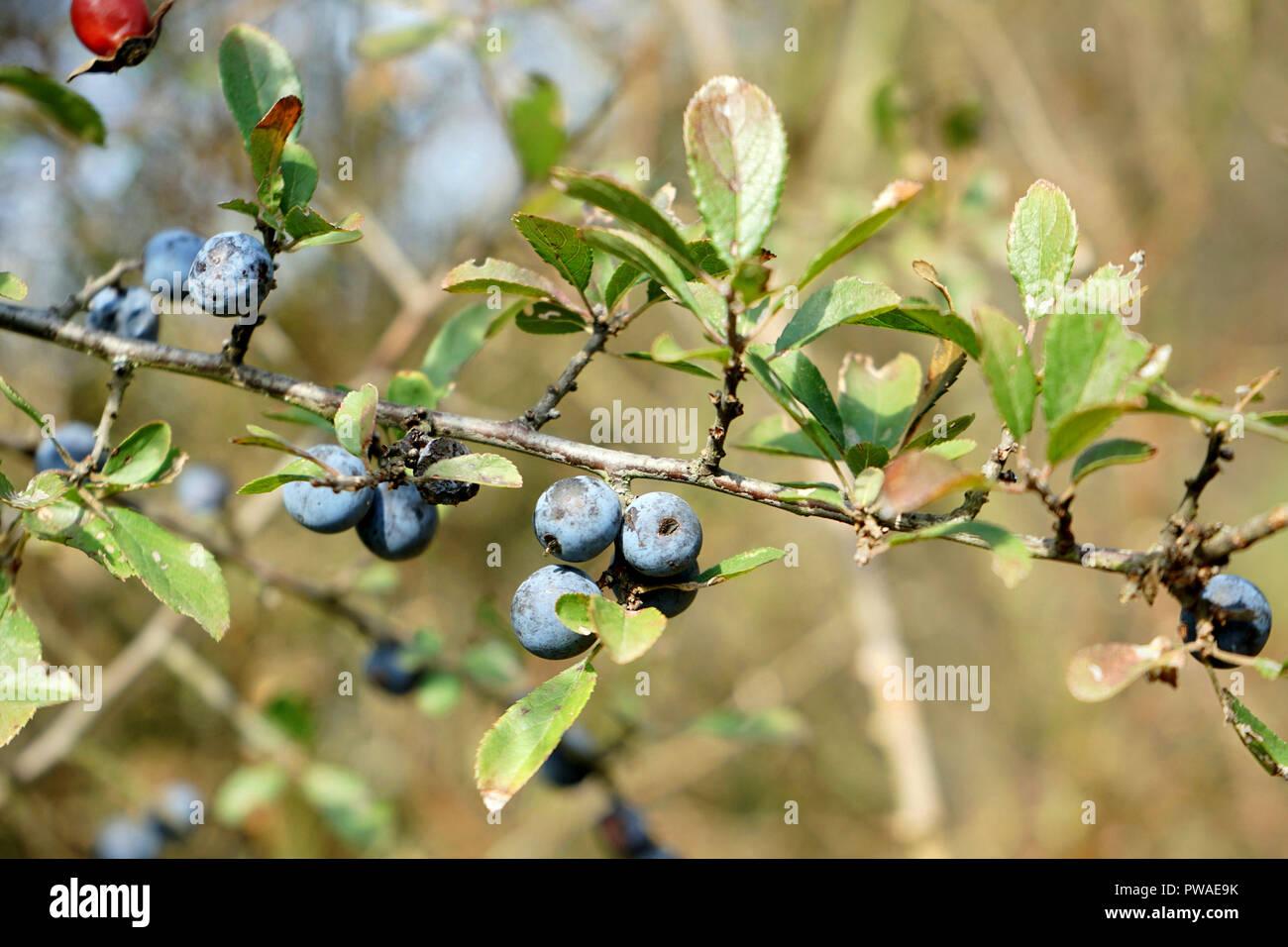 Früchte des Schlehdorn (Prunus spinosa), Schlehendorn, Schlehe, Heckendorn, Schwarzdorn, Deutsche Akazie Schwarzdorn, Schlehe,Deutschland, Europa - Stock Image