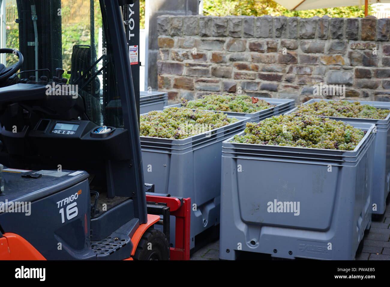 geerntete Rieslingtrauben, Edle Weinrebe (Vitis vinifera subsp. vinifera), Moseltal, Deutschland Stock Photo