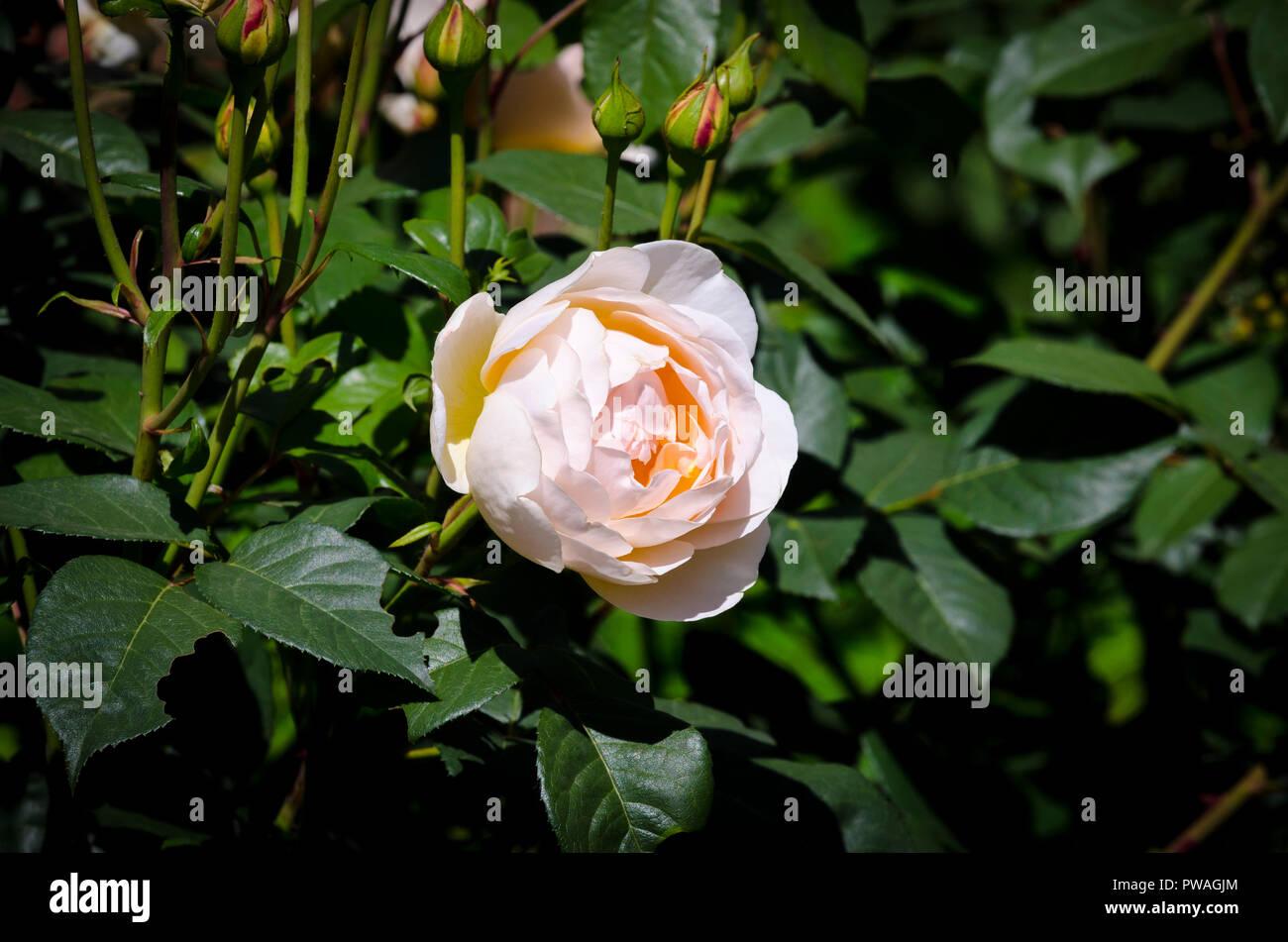 Peach rose, light pink rose, Rosa, Rosoideae, Rosaceae - Stock Image