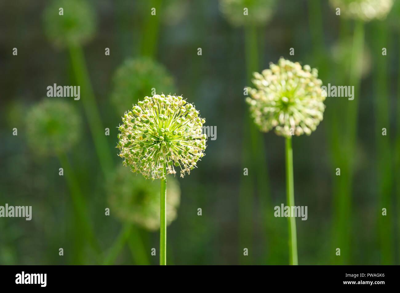 Allieae, allium seed heads, allium seed head, allium seedhead, ornamental onions, monocotyledonous - Stock Image