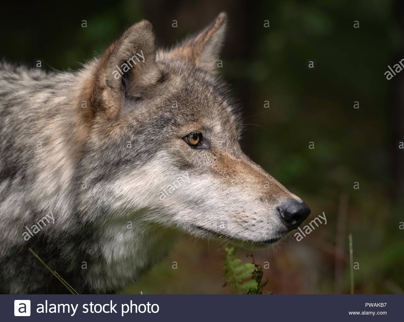 Timber Wolf (also known as a Gray Wolf or Grey Wolf) Portrait - Stock Image