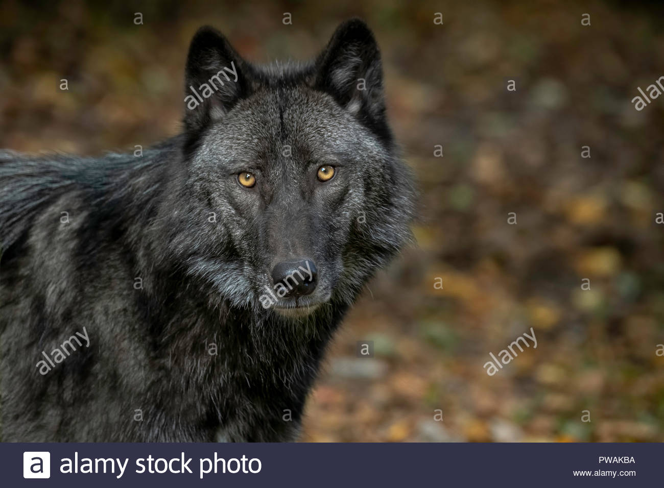 Beautiful Timber Wolf (also known as a Gray Wolf or Grey Wolf) with Black and Silver Markings - Stock Image